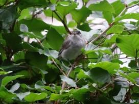 bonte-vliegenvanger-small