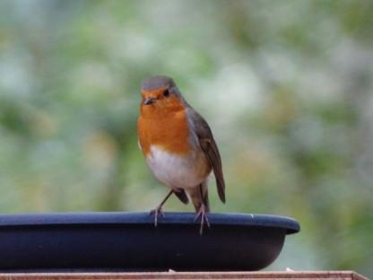 roodborstje-poseert-small