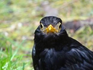 zwarte-lijster-small